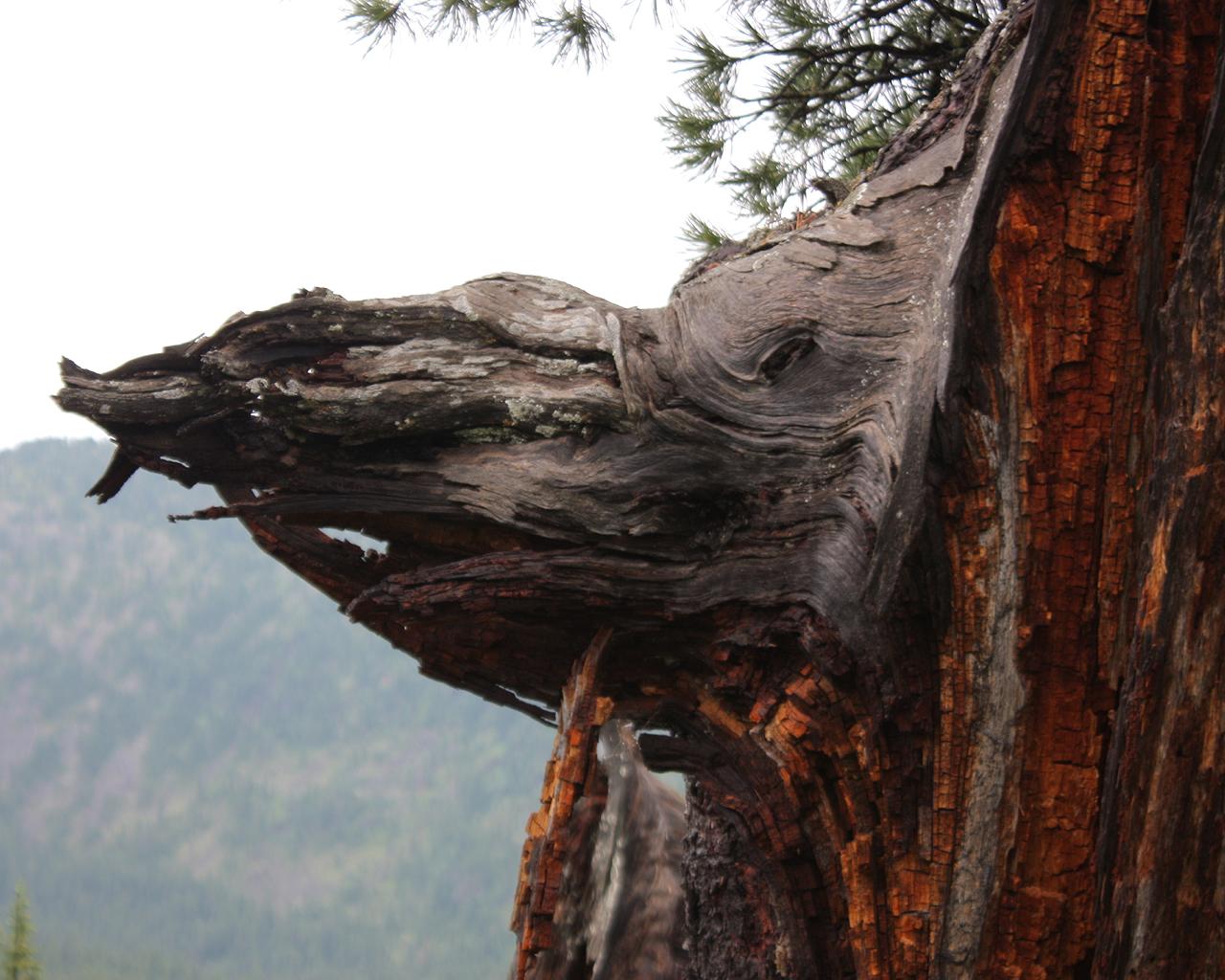 Сучки на дереве 13 фотография